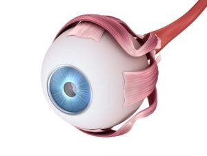 die Anatomie des Auges